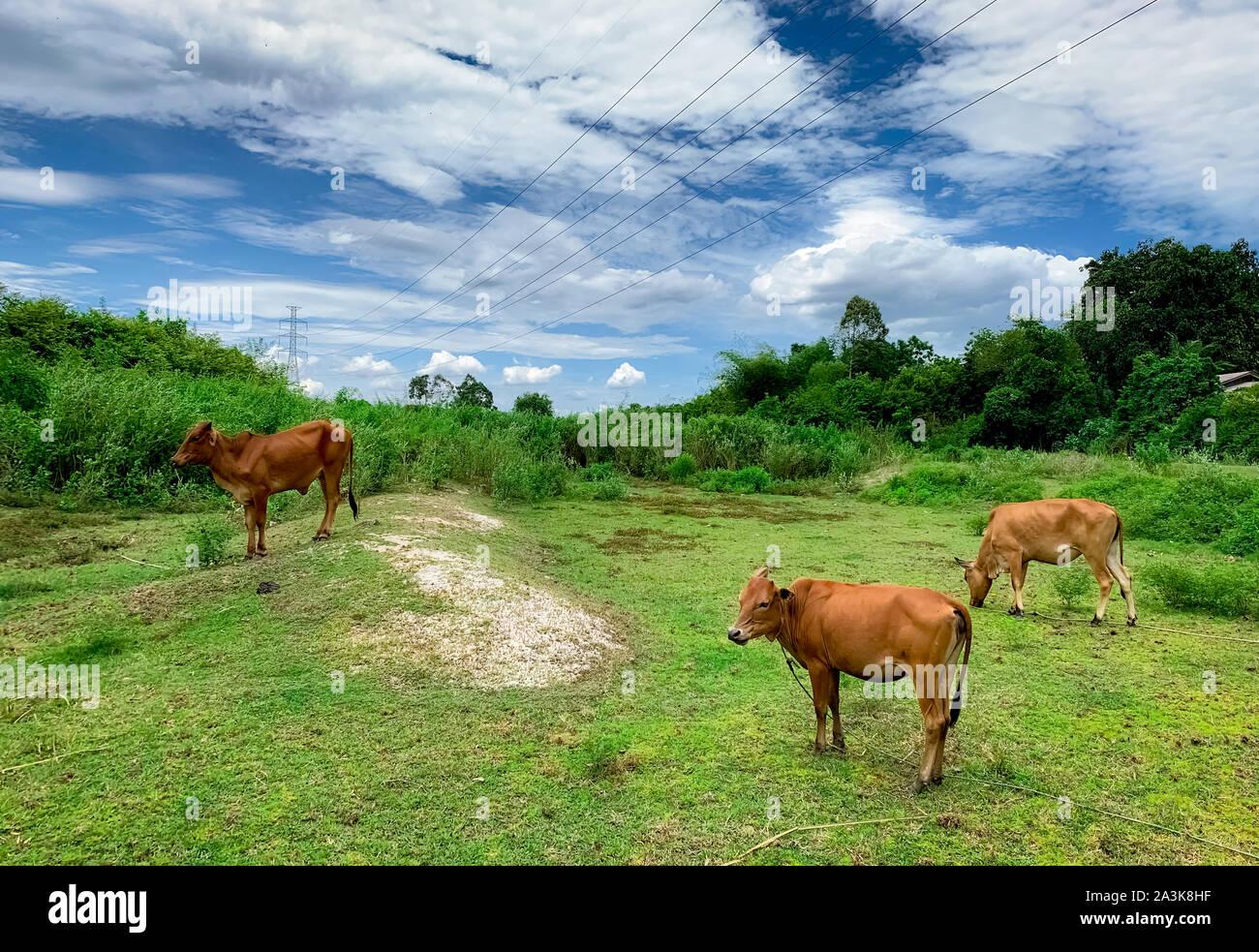 Rebaño de vacas pastando en praderas de césped verde. Brown cow en la pastura. La carne de vaca de cría de ganado. El ganado. Alto voltaje eléctrico pilón en rebelión en la granja Foto de stock