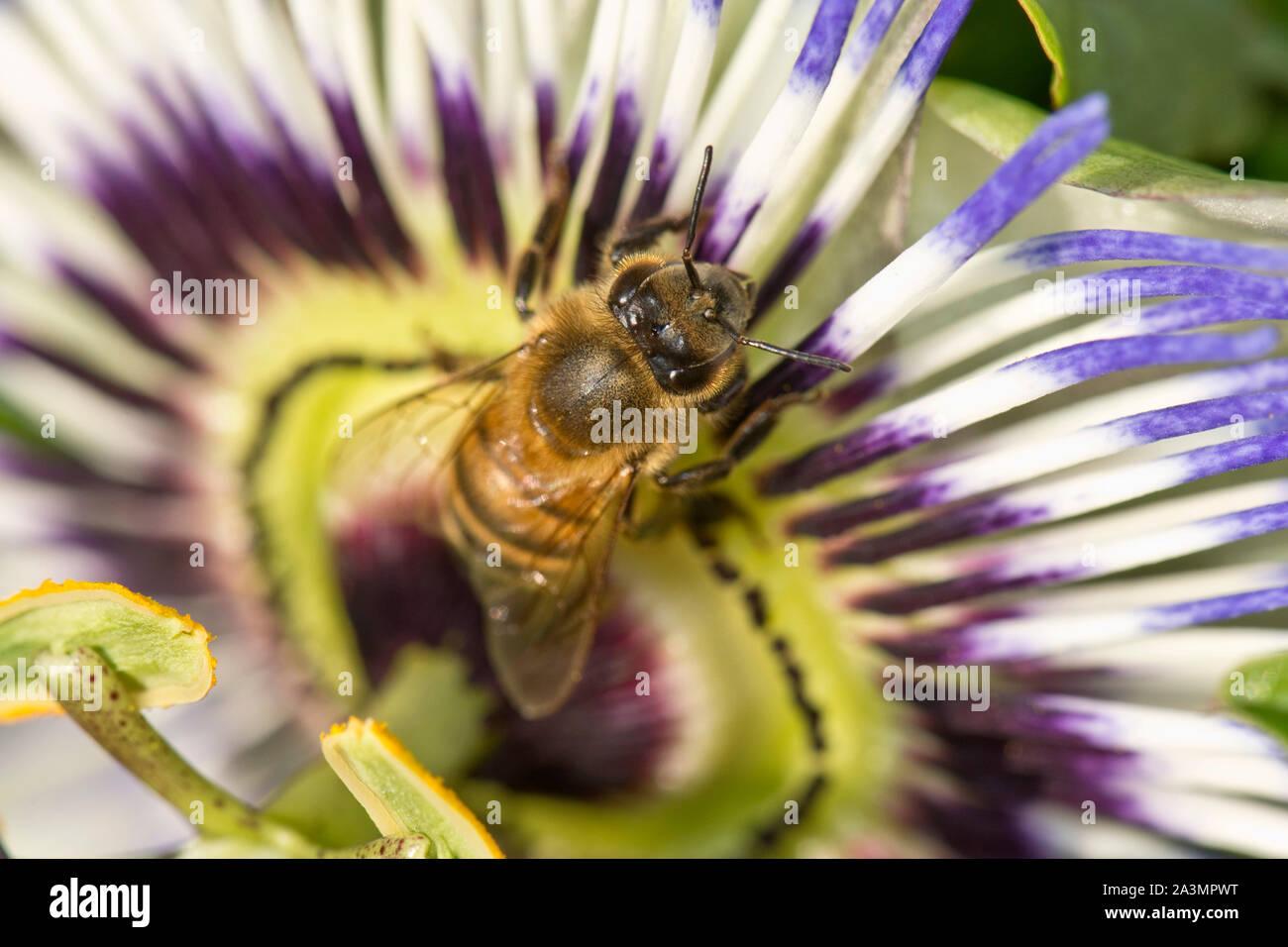 Miel de abejas (Apis mellifera) forrajeando en una flor de la pasión (Passiflora caerulea), Berkshire, Agosto Foto de stock