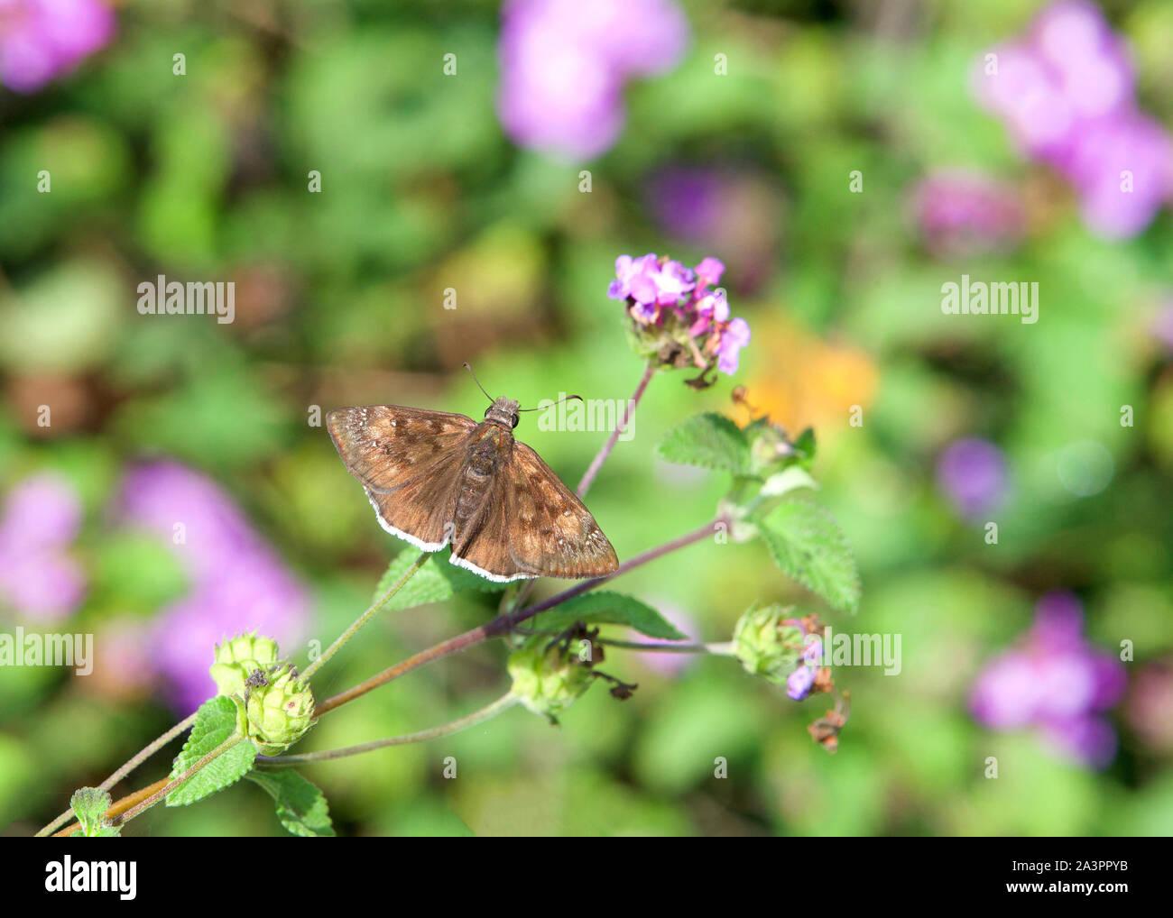 Erynnis tristis, la melancólica duskywing, es una especie de propagación-wing skipper en la familia de mariposas Hesperiidae, bebiendo de púrpura y la lavanda Foto de stock