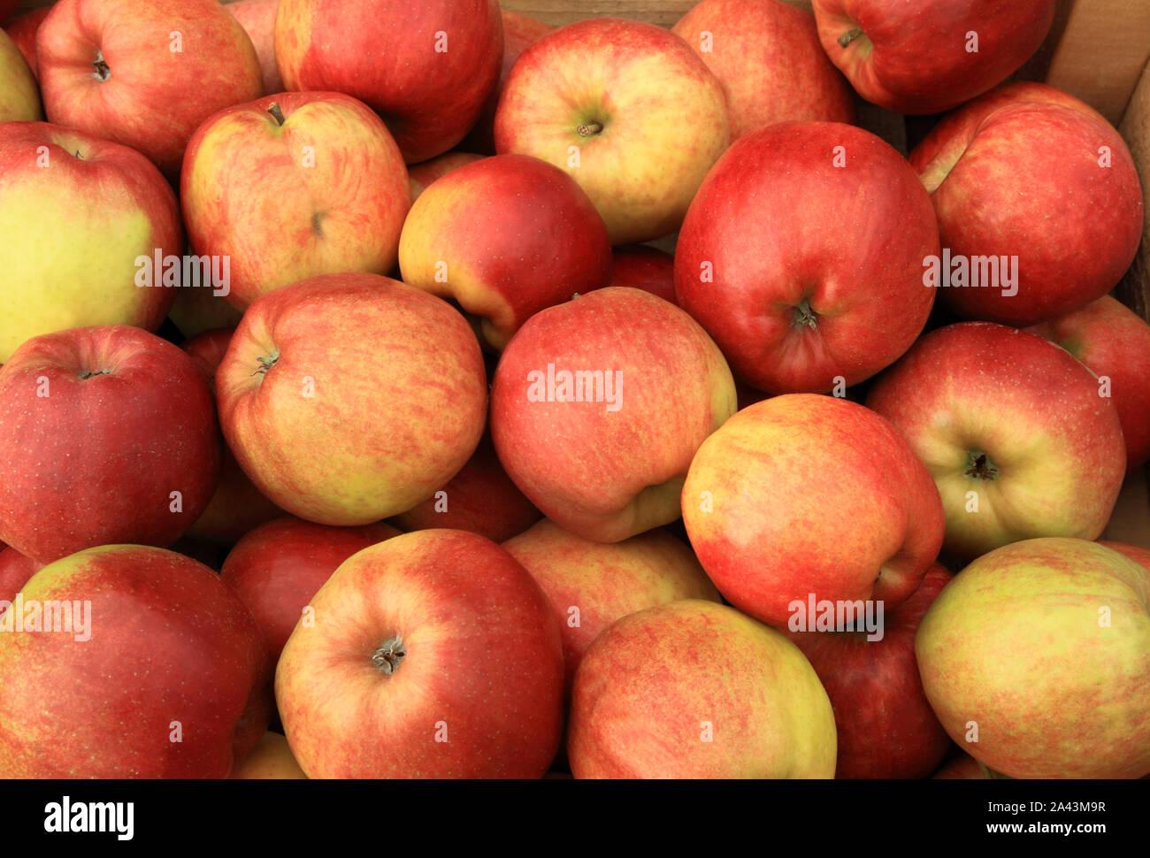 Apple 'Corona de Oro', manzanas, comedores, comiendo manzanas, comer sano, Malus domestica Foto de stock