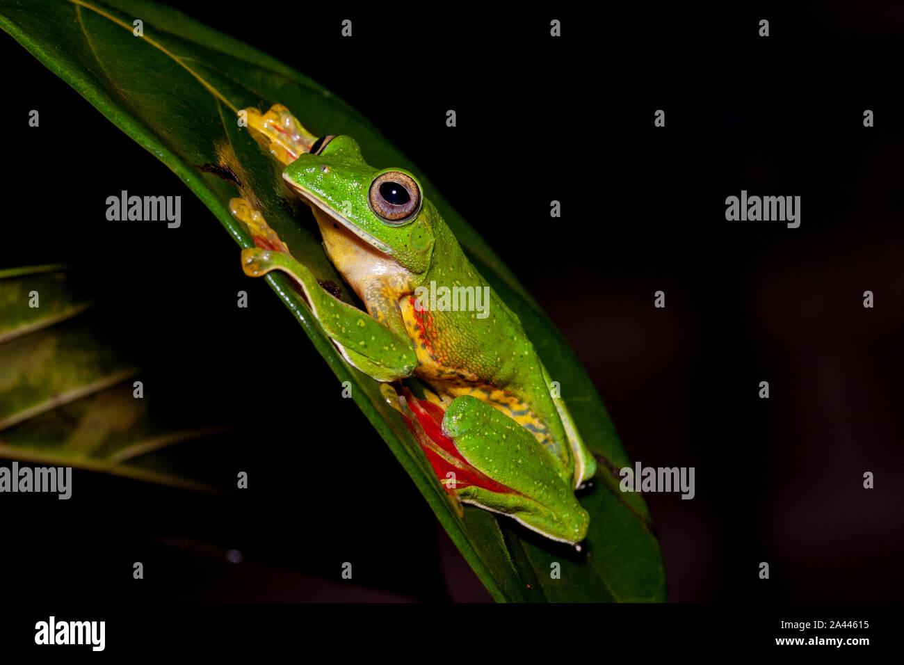 Rhacophorous Malabaricus o deslizamiento de Malabar Frog visto Amboli,Maharashtra, India Foto de stock