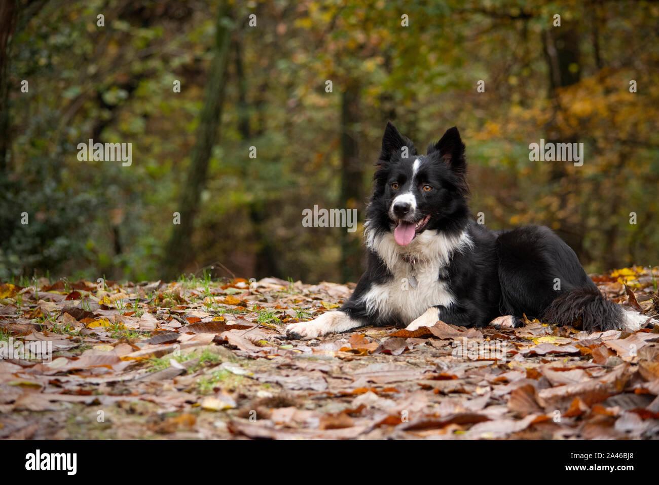 Un hermoso Border Collie cachorro se relaja en el bosque Foto de stock