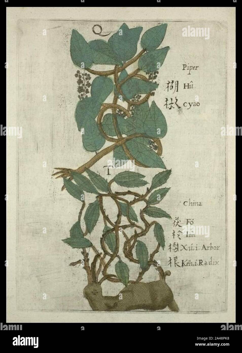 Flora Sinensis - Pimienta. Foto de stock