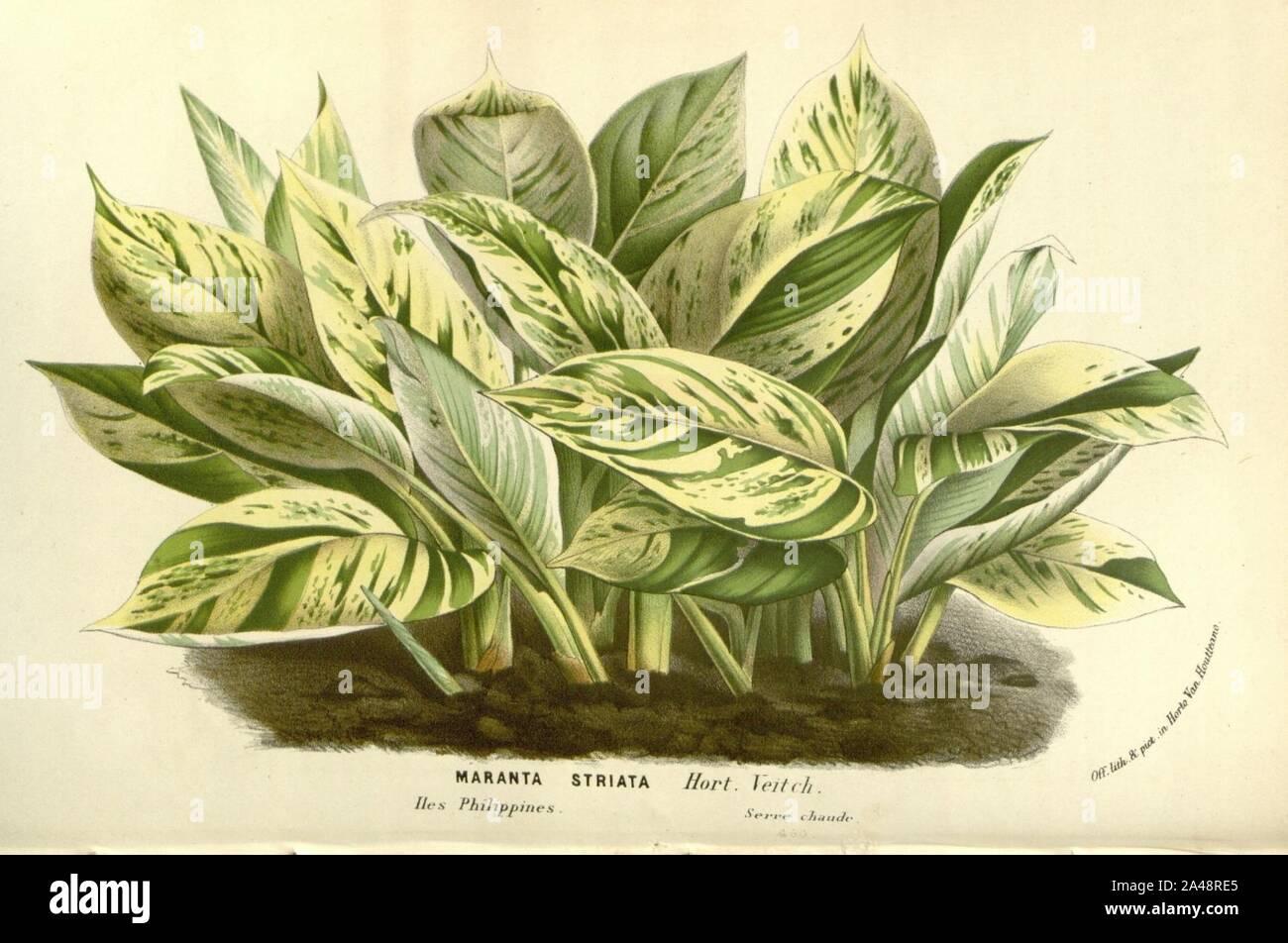 Flore des serres v15 139a. Foto de stock