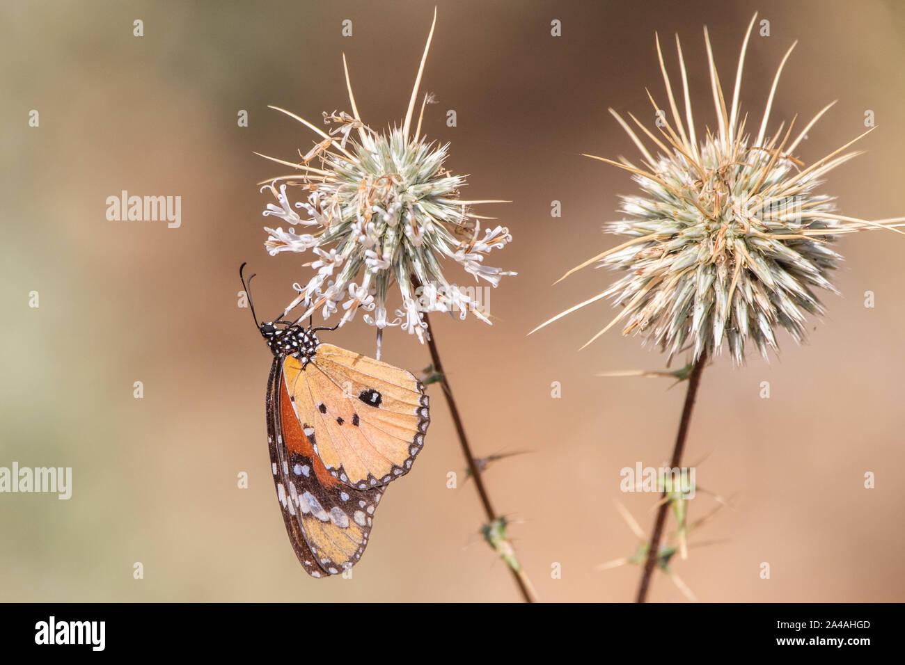 Mariposa Monarca en Arabia Saudita Foto de stock