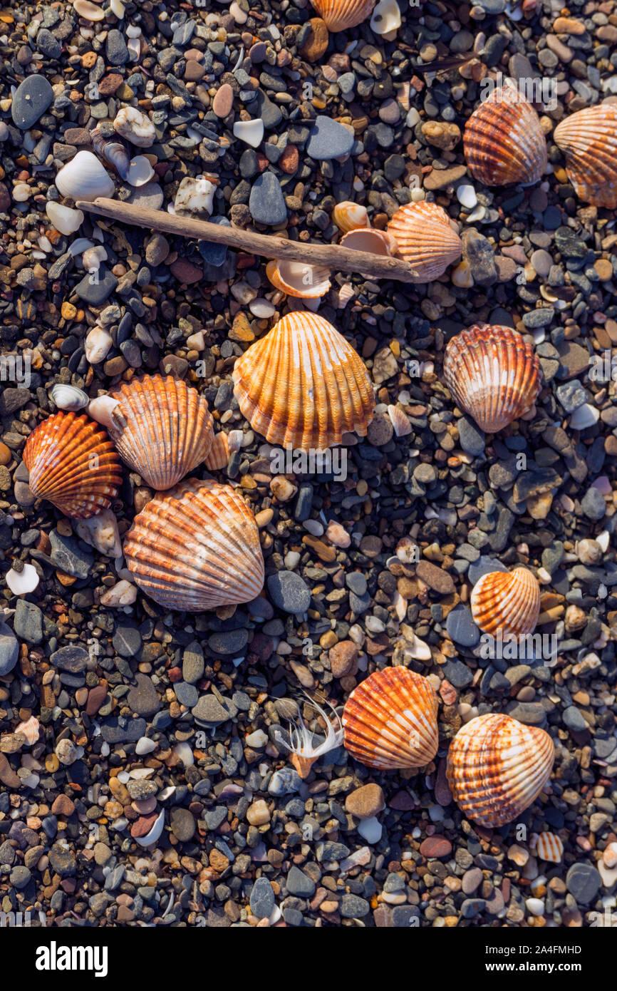 Conchas en la orilla del mar. Foto de stock