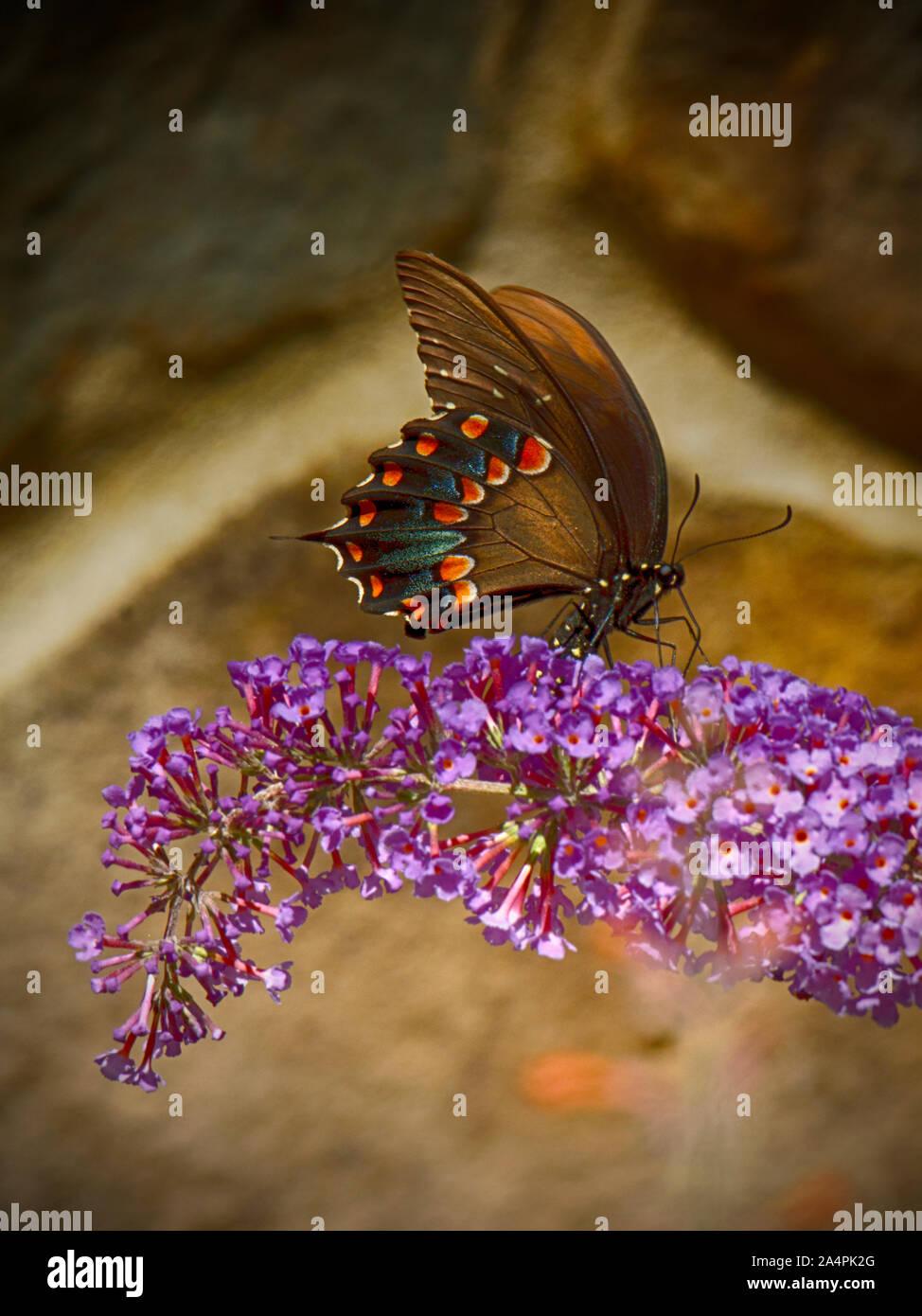 Especie Spicebush mariposa sobre butterfly bush. Foto de stock