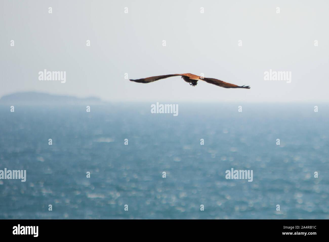 Brahminy Kite, pájaro de presa, en vuelo sosteniendo un cangrejo con sus pies, encontrando un poco difícil de despegar Foto de stock