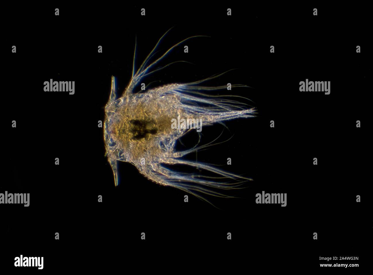 Percebe larvas Nauplius larva de Elminius modestus, microscópico, iluminación de campo oscuro Foto de stock