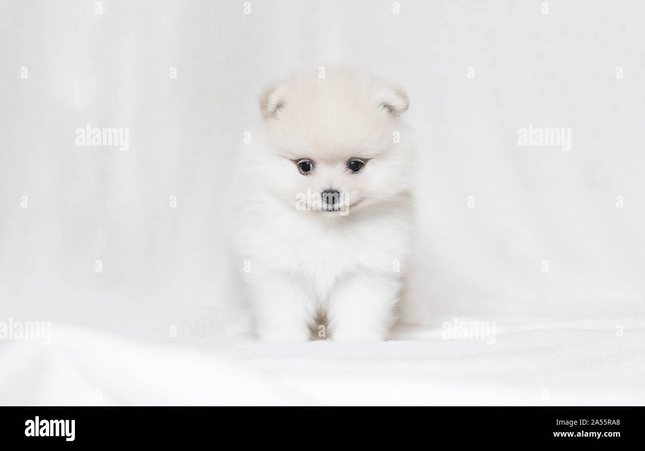 Cachorro de Pomerania en frente de fondo blanco. Foto de stock