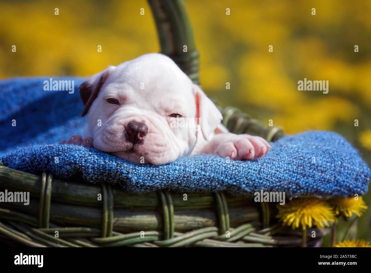 Cachorro bulldog americano en una cesta Foto de stock