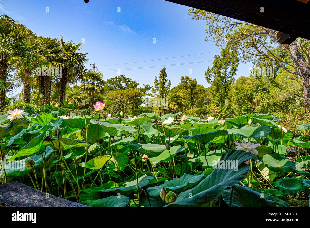 Seerosen / im Zoo Punta Verde en Lignano (Italien) / Tierpark en Lignano / Sehenswürdigkeit en Lignano (Italien) Foto de stock
