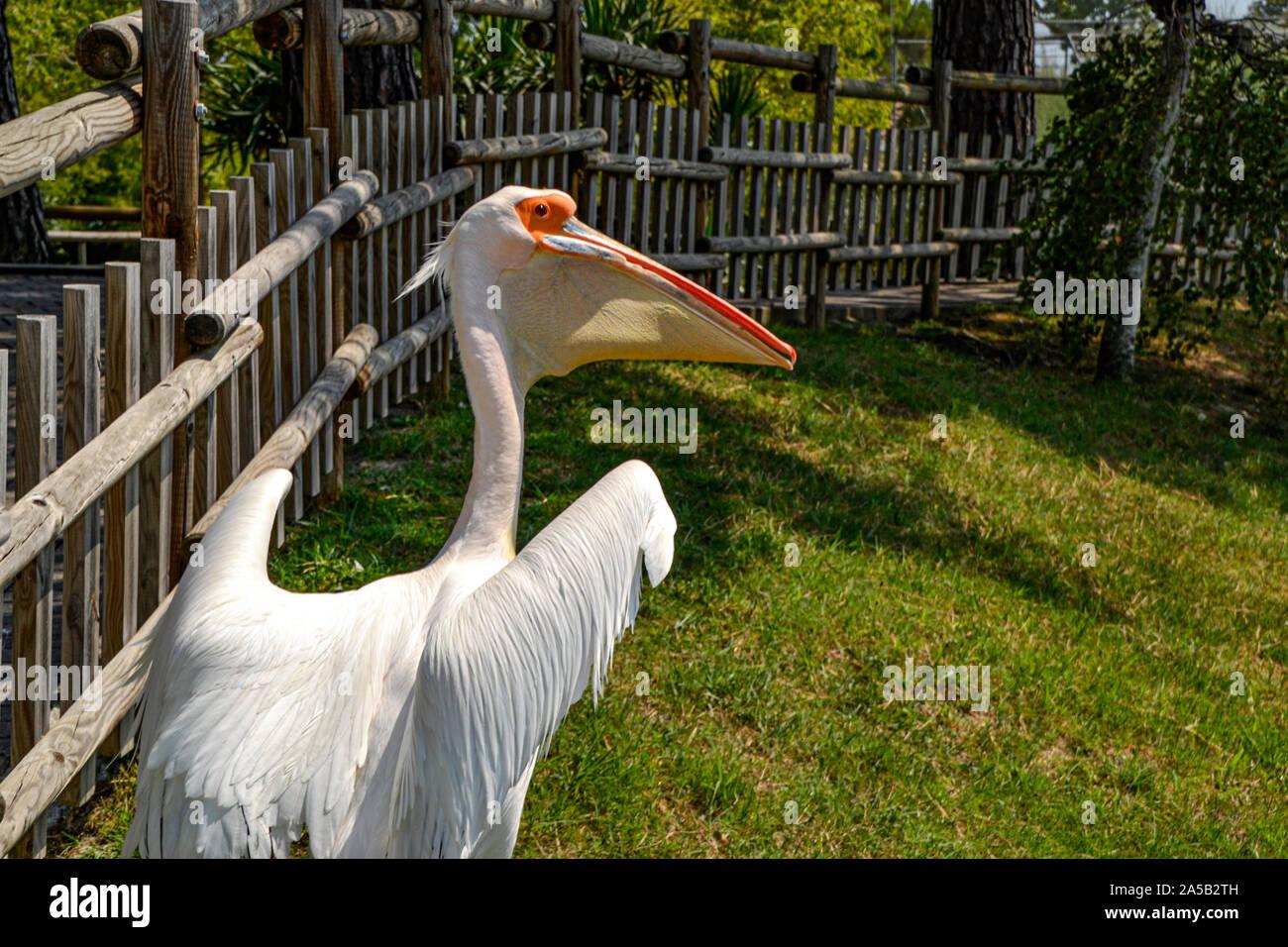 Pelikan im Zoo Punta Verde en Lignano (Italien) / Tierpark en Lignano / Sehenswürdigkeit en Lignano (Italien) / Pelican en el Zoo Punta Verde Foto de stock