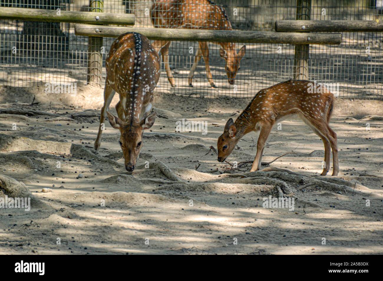 Rehe/deer im Zoo Punta Verde en Lignano (Italien) / Tierpark en Lignano / Sehenswürdigkeit en Lignano (Italien) Foto de stock