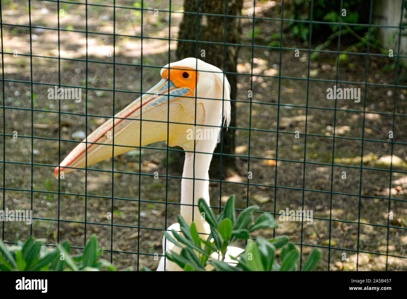 Pelikan/pelican im Zoo Punta Verde en Lignano (Italien) / Tierpark en Lignano / Sehenswürdigkeit en Lignano (Italien) Foto de stock