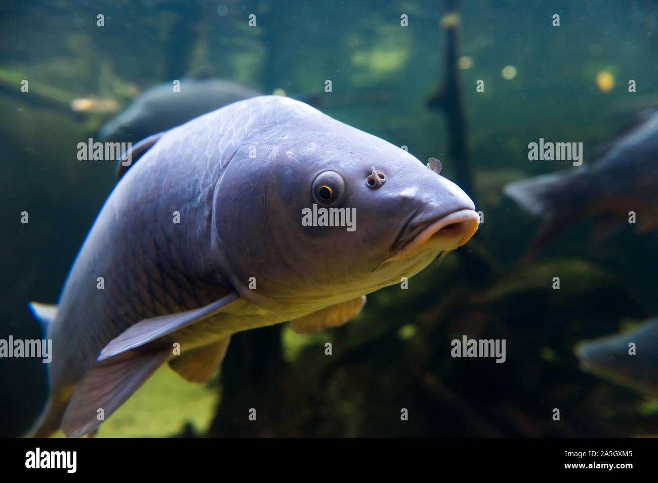 Los peces de agua dulce la carpa (Cyprinus carpio) en el estanque. Filmación subacuática en el lago. Animales de vida silvestre. Foto de stock