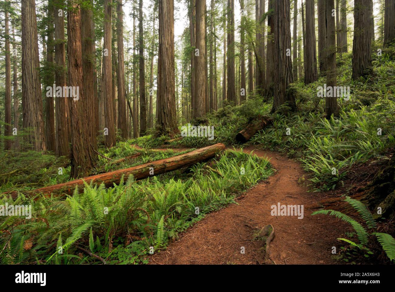 CA03765-00...California - El árbol de Boy Scouts sendero serpenteante a través de un bosque de secoyas en Jedediah Smith Redwoods State Park; parte de Redwoods National a Foto de stock