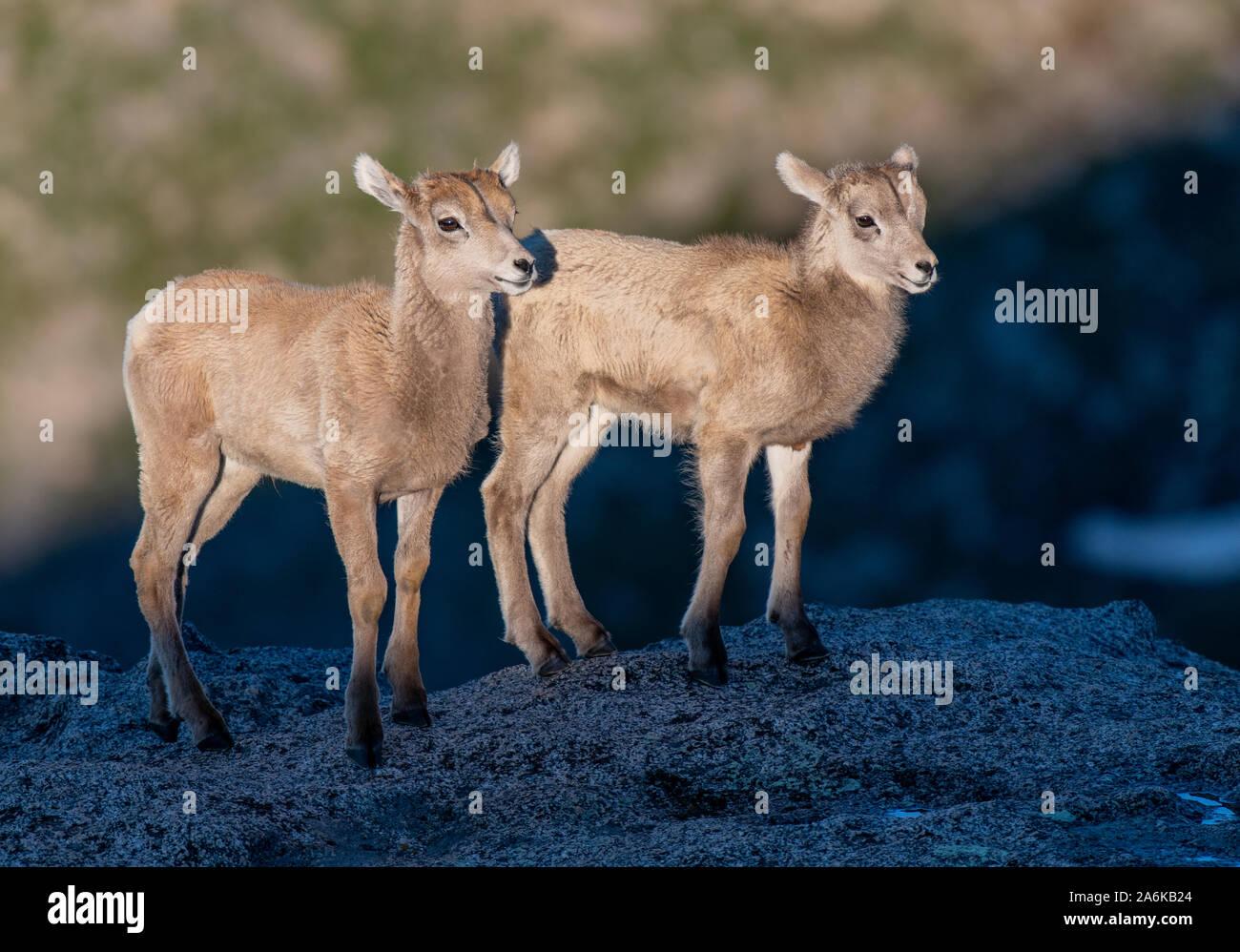 Adorable Borrego Cordero gemelos en la luz del sol al borde de los acantilados Foto de stock