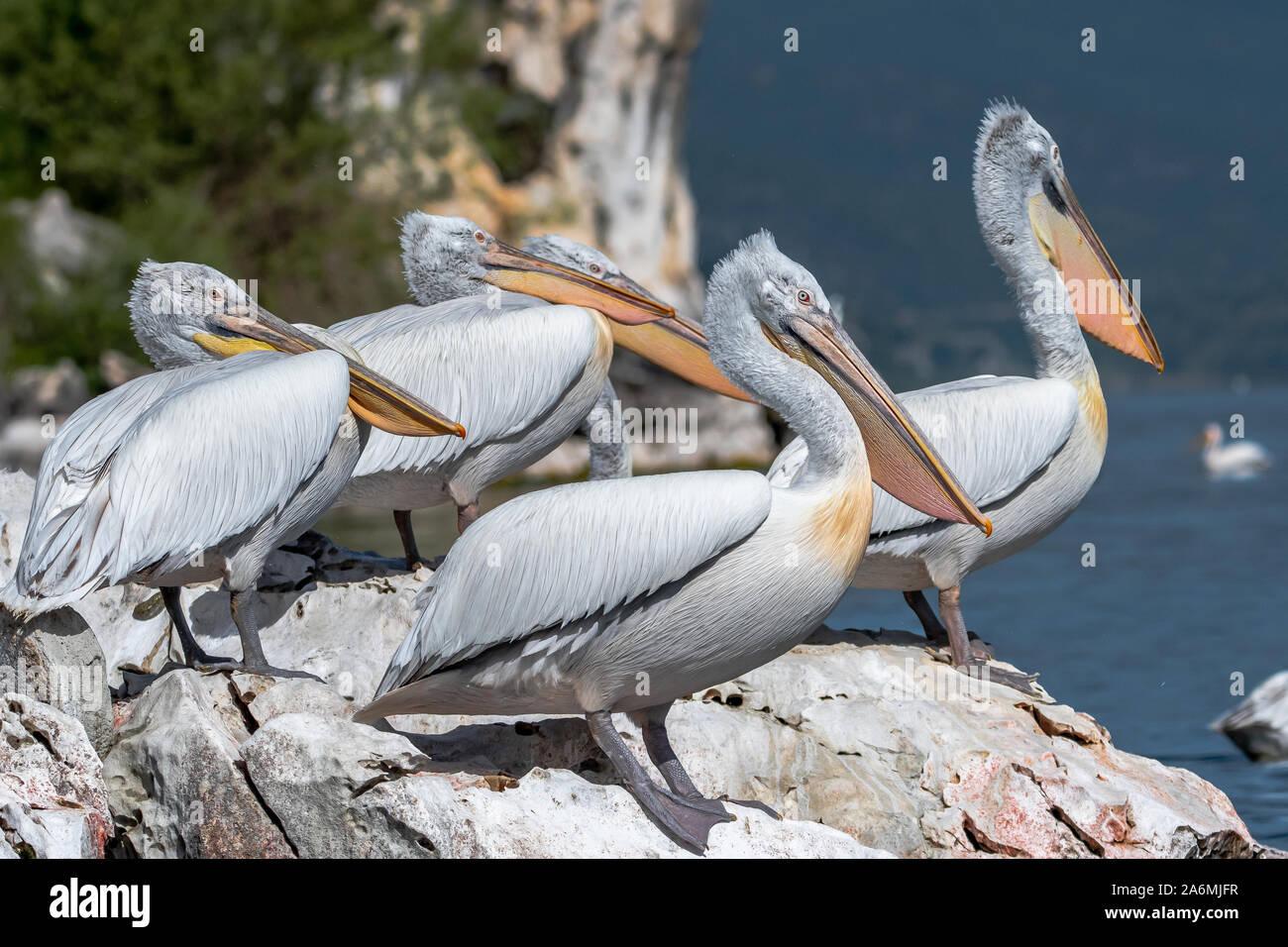 Pelícano dálmata - Pelecanus crispus. El miembro más masivo del pelican familia, y quizás las aves de agua dulce más grande del mundo. Foto de stock