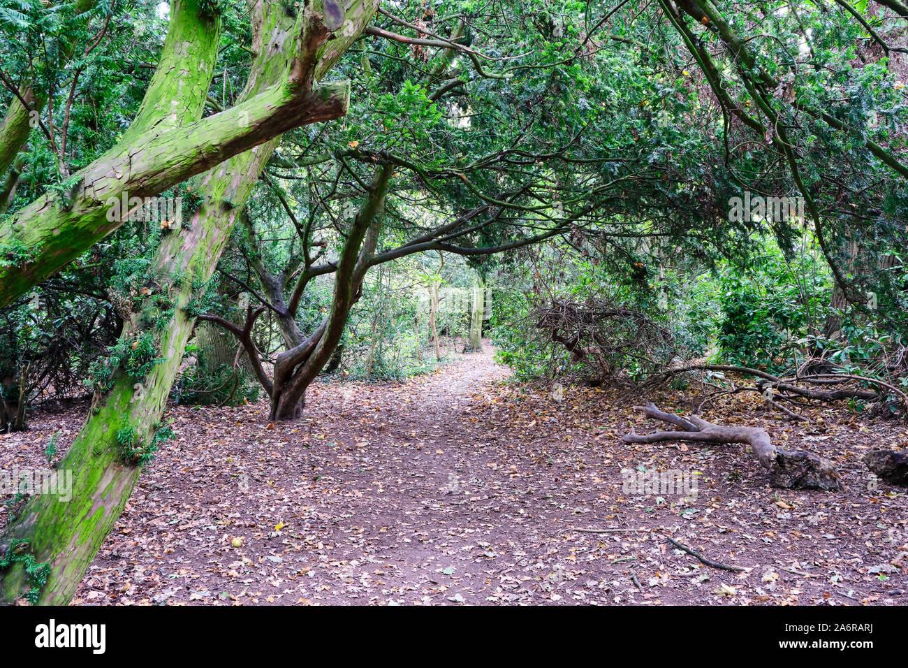 Hoja angosta apartada stewn sobresaliendo por el camino a través de los árboles en los bosques, en la entrada a Acton Burnell Castillo en Shropshire Inglaterra Foto de stock