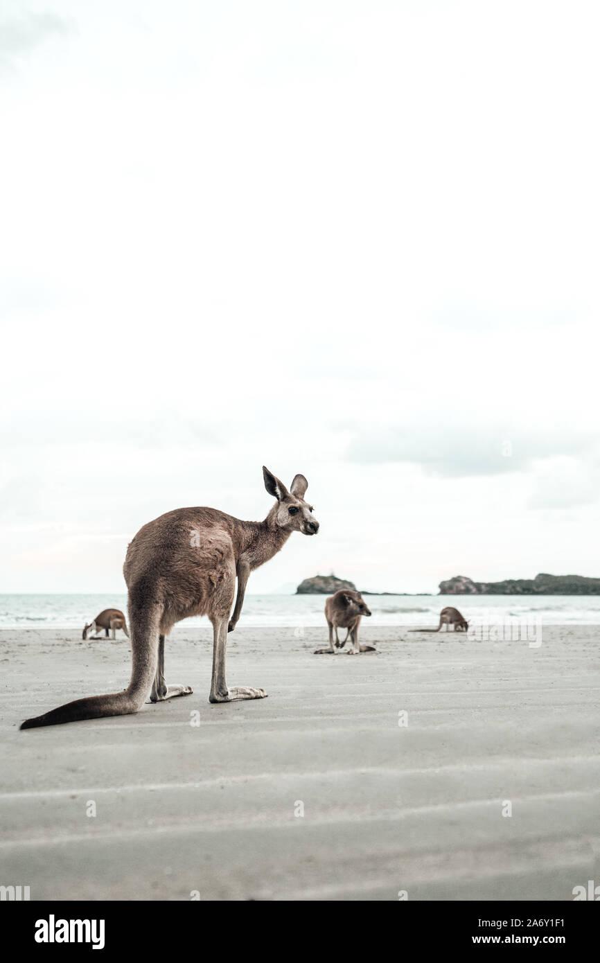 Kangaroo le mira al mar en la playa Foto de stock