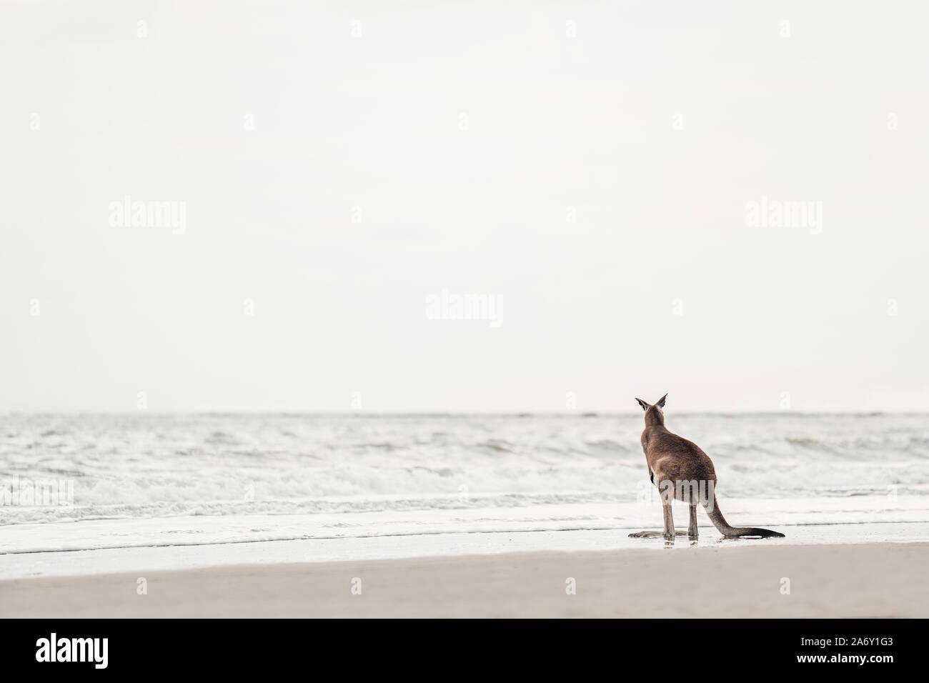 Relojes canguro el océano en la playa. Foto de stock