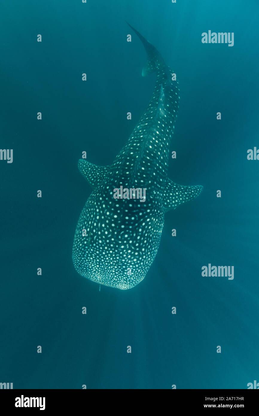 Un tiburón ballena, Rhincodon typus, nadando lentamente a través de los haces de luz solar en Indonesia. Esta es la más conocida entre las especies de peces existentes en la tierra. Foto de stock