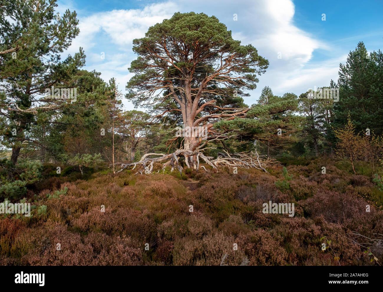 Pino escocés (Pinus sylvestris) en páramos de brezo en el Parque Nacional Cairngorms, Badenoch y Strathspey, Escocia, Reino Unido Foto de stock