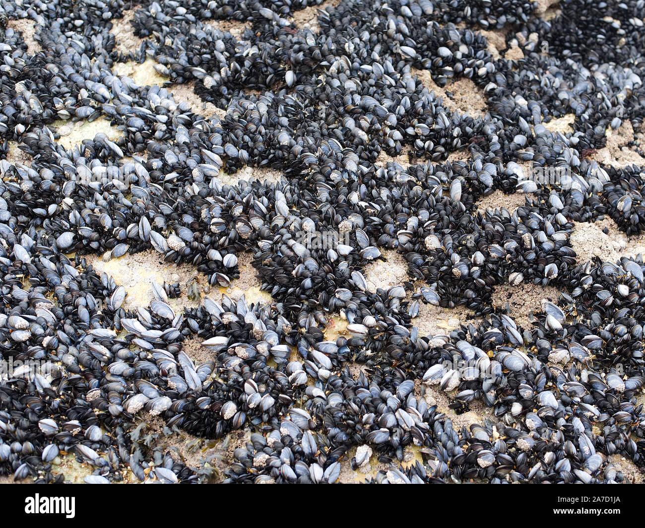 Percebes adjuntas a las rocas en la playa Foto de stock