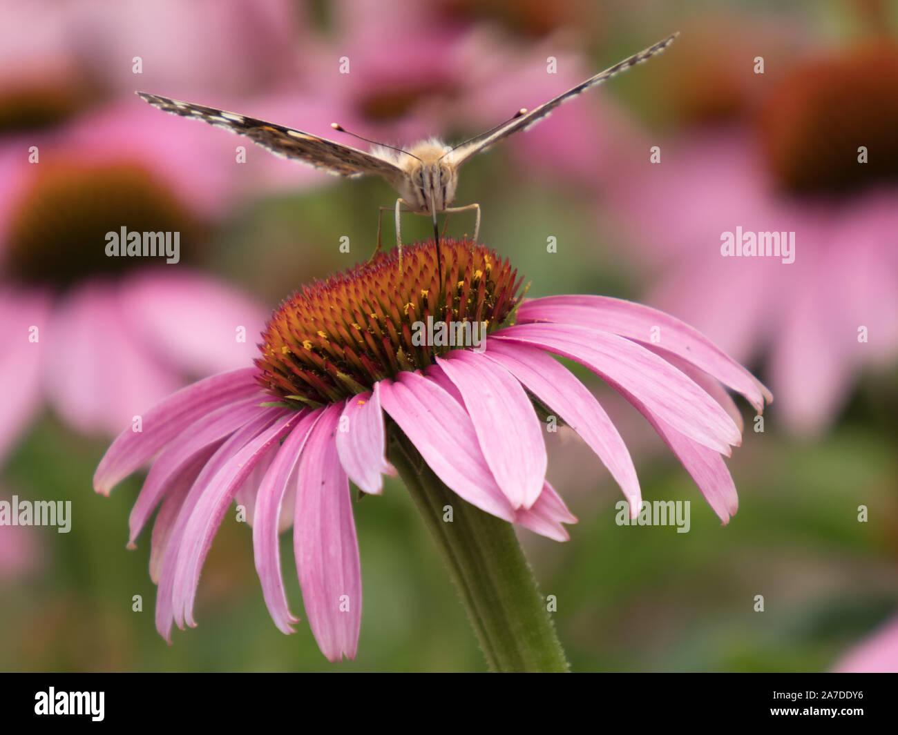 Close-up de un Painted Lady (Vanessa cardui) en la flor de una coneflower Foto de stock