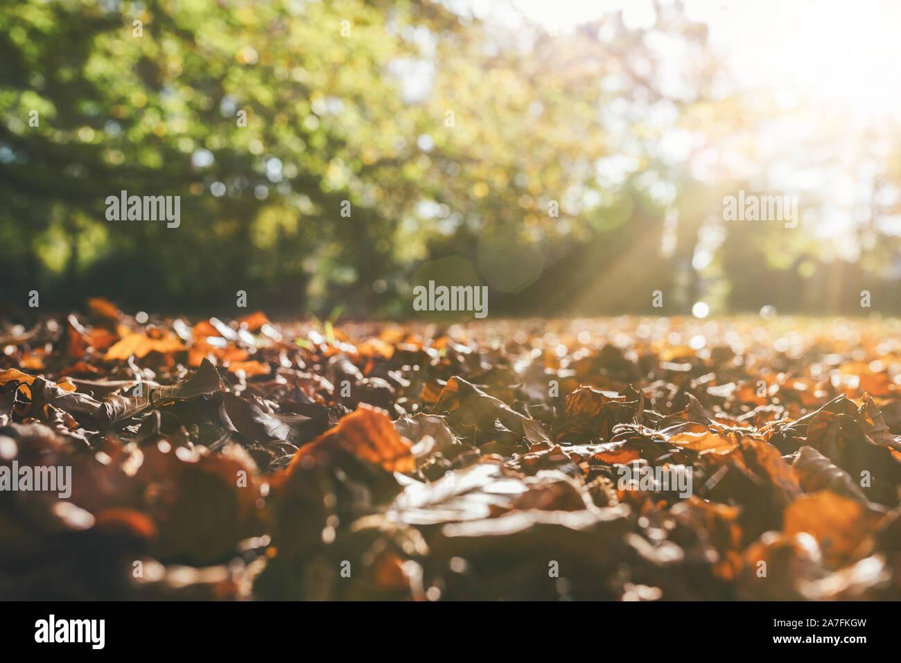 Ángulo de visión baja de la caída de las hojas en otoño en el suelo contra el verde de los árboles en la luz del sol Foto de stock