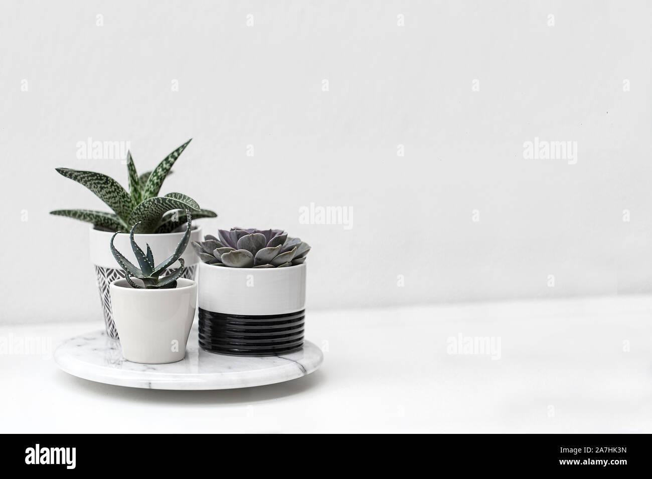 Macetas con plantas suculentas con un fondo blanco. Foto de stock