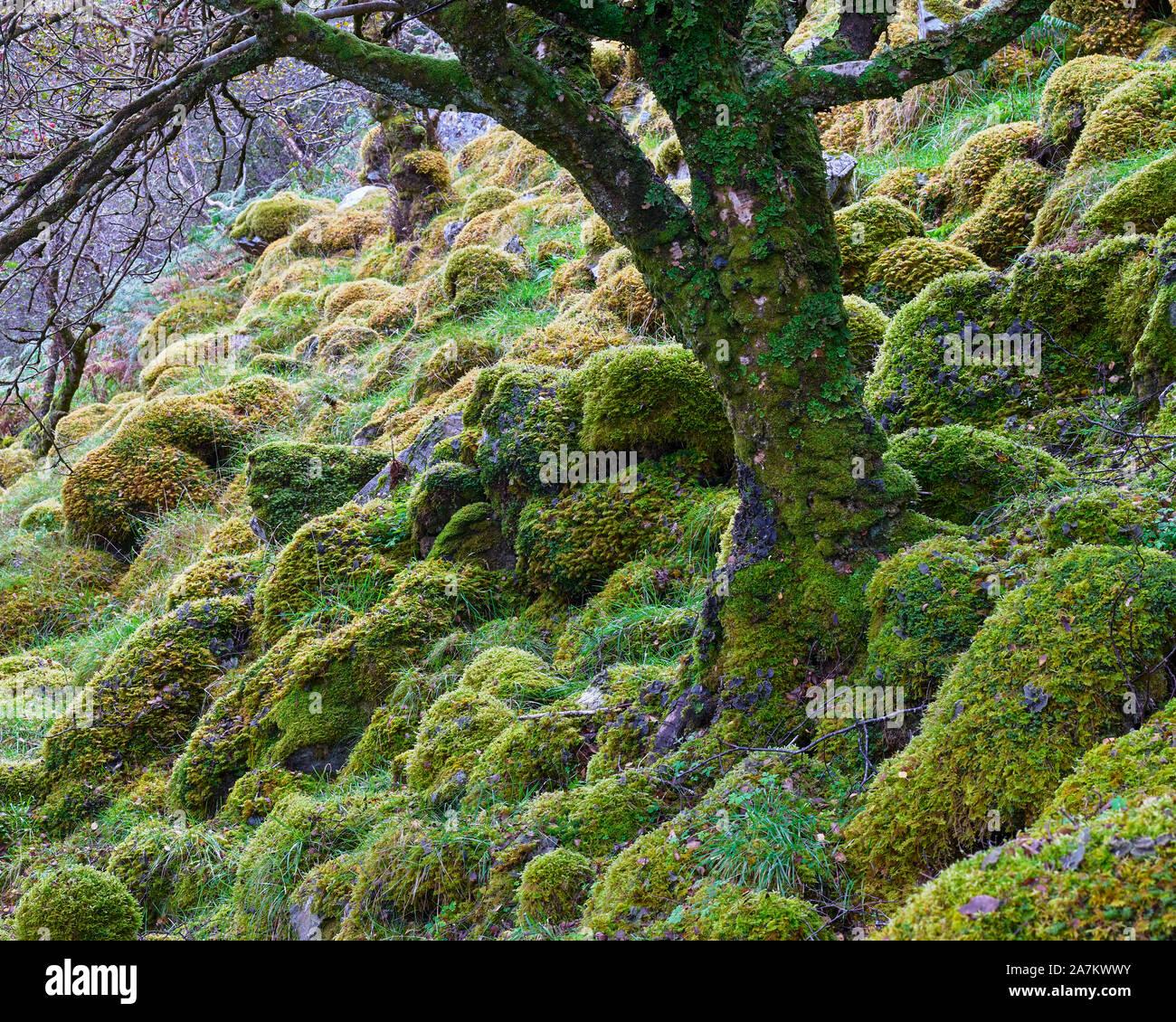 Rocas cubiertas de musgo y troncos de árboles en bosques nativos, Assynt, Sutherland, Highland, Escocia. Foto de stock