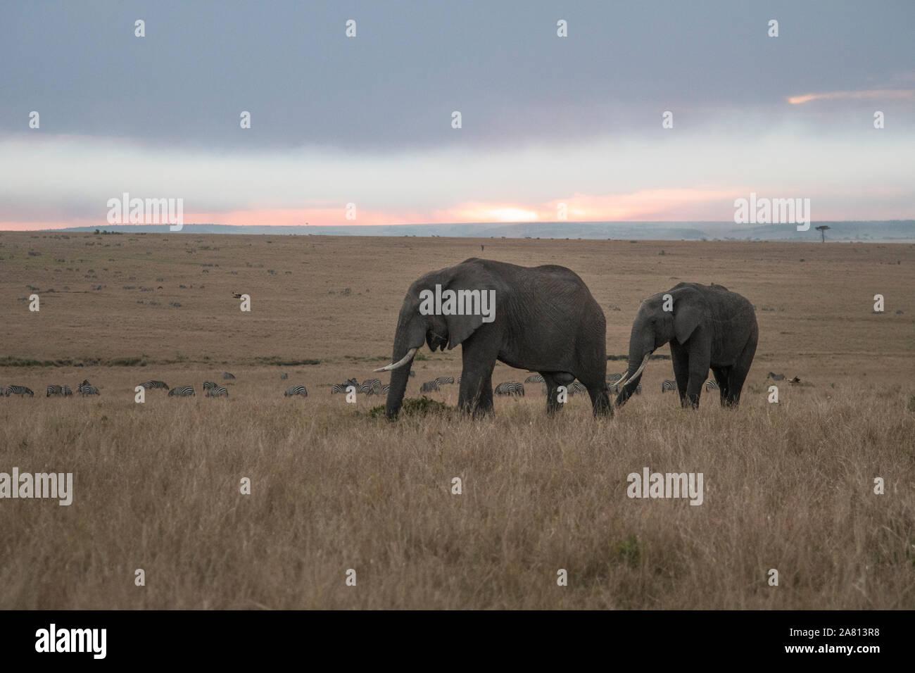 Bush africano elefantes alimentándose de hierbas al atardecer en Masai Mara, Kenya reserva Foto de stock