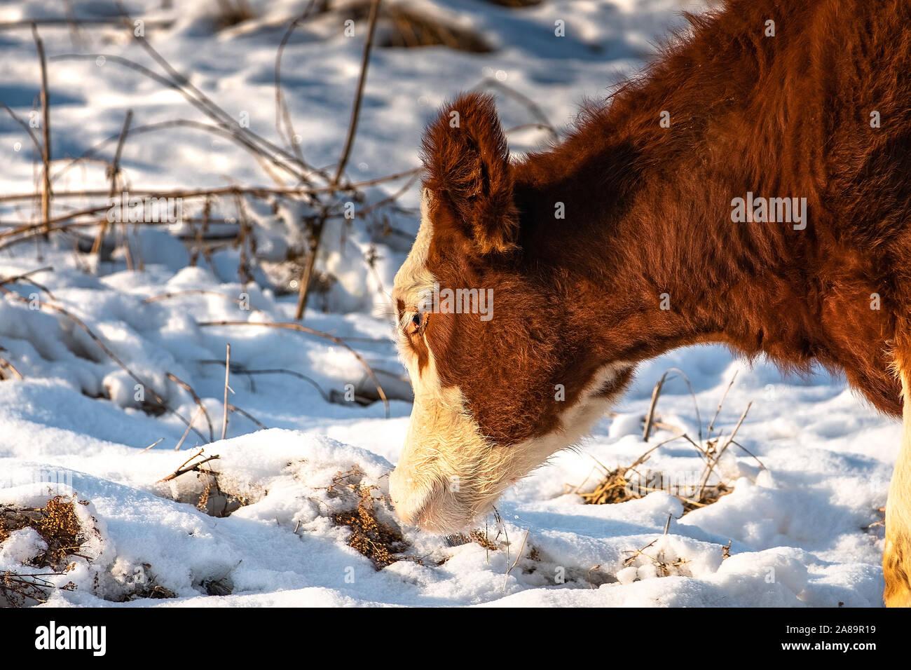 Los terneros pastan en un campo en invierno, buscando hierba bajo la nieve Foto de stock