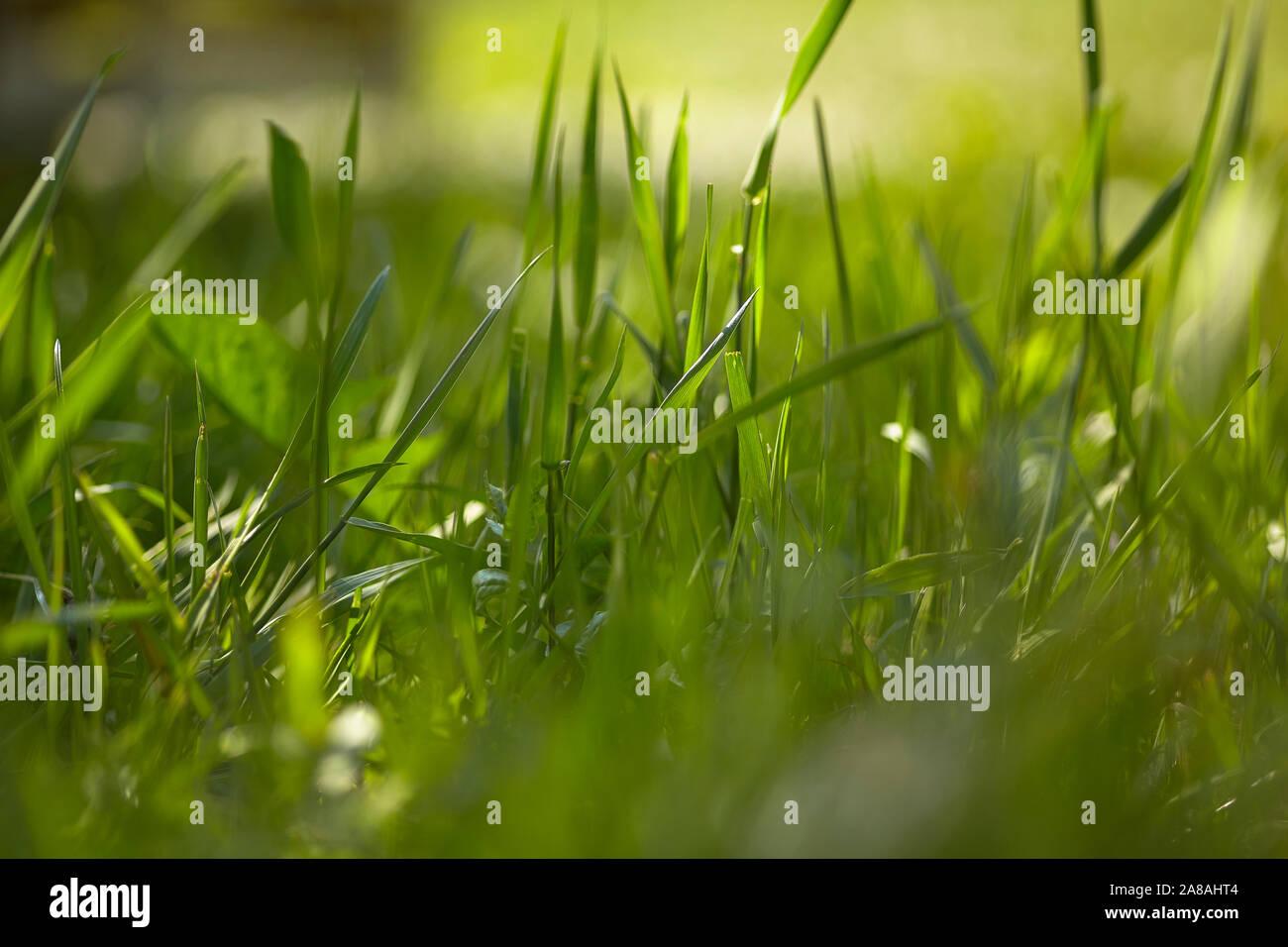 Briznas de hierba besada por el sol Foto de stock