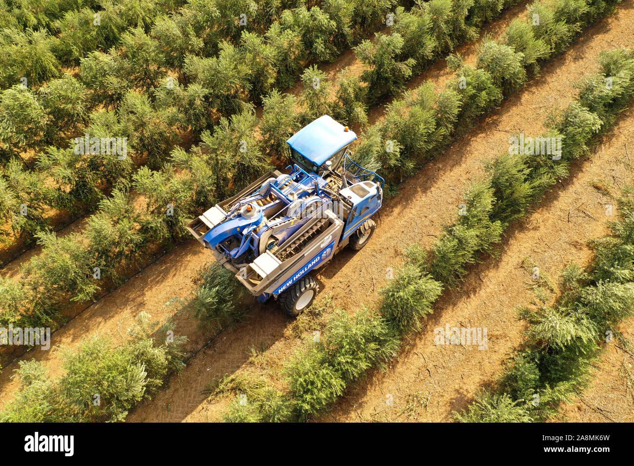 New Holland cosechadora de olivo en un campo de trabajo, vista aérea. Foto de stock