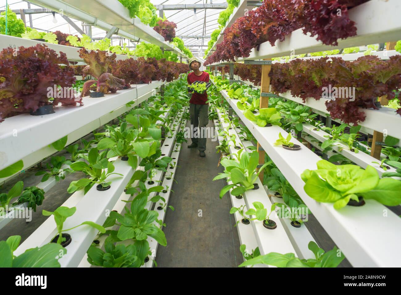 Jóvenes agricultores malayos asiáticos trabajan en orgánicos hidropónicos hortalizas aquaponic moderno .Concepto de joven graduado que trabaja en la granja moderna. Foto de stock