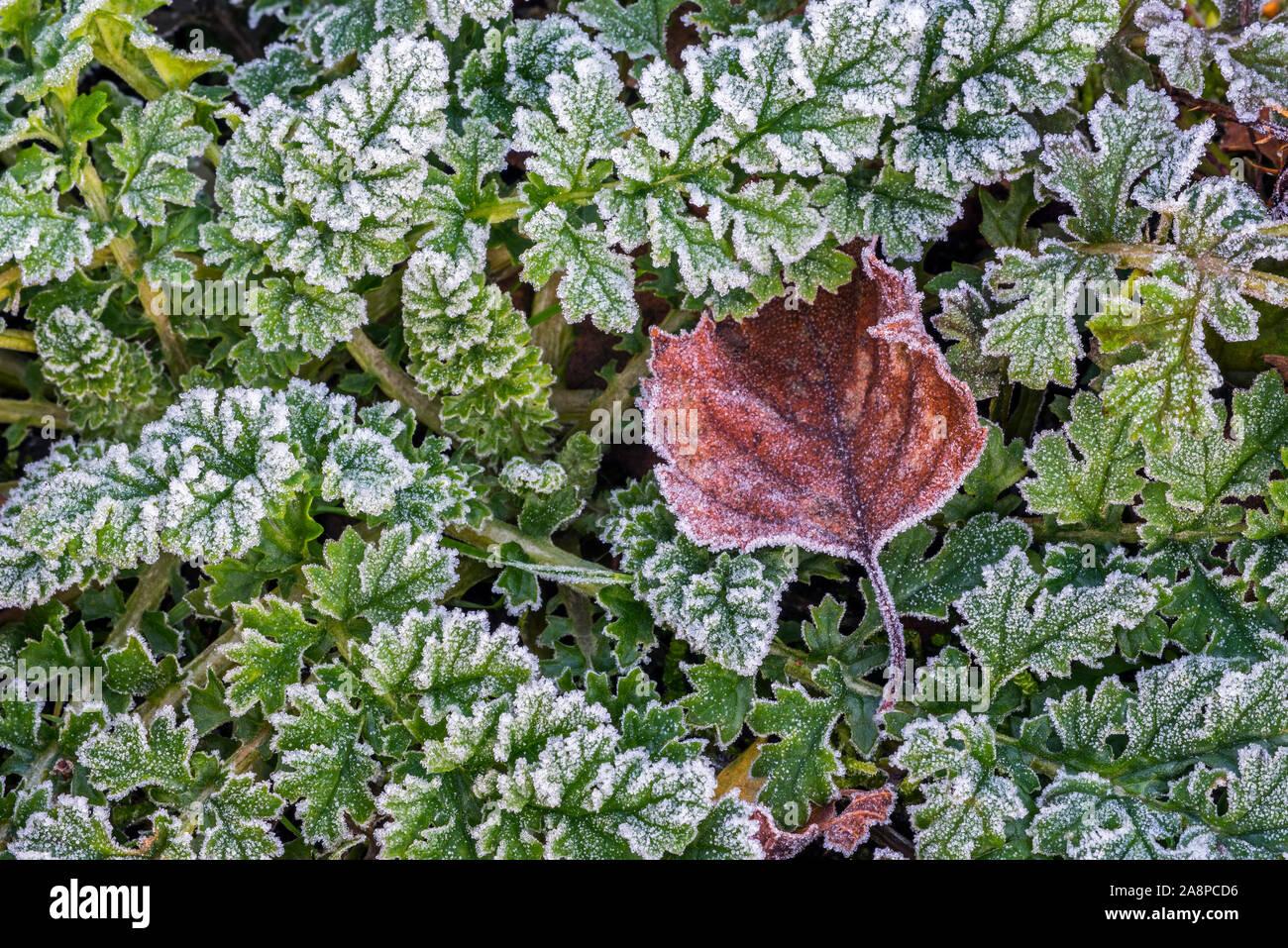 Caído plata abedul (Betula pendula) hoja en el suelo del bosque entre hojas verdes cubiertos de hoar frost / escarcha en otoño / otoño Foto de stock