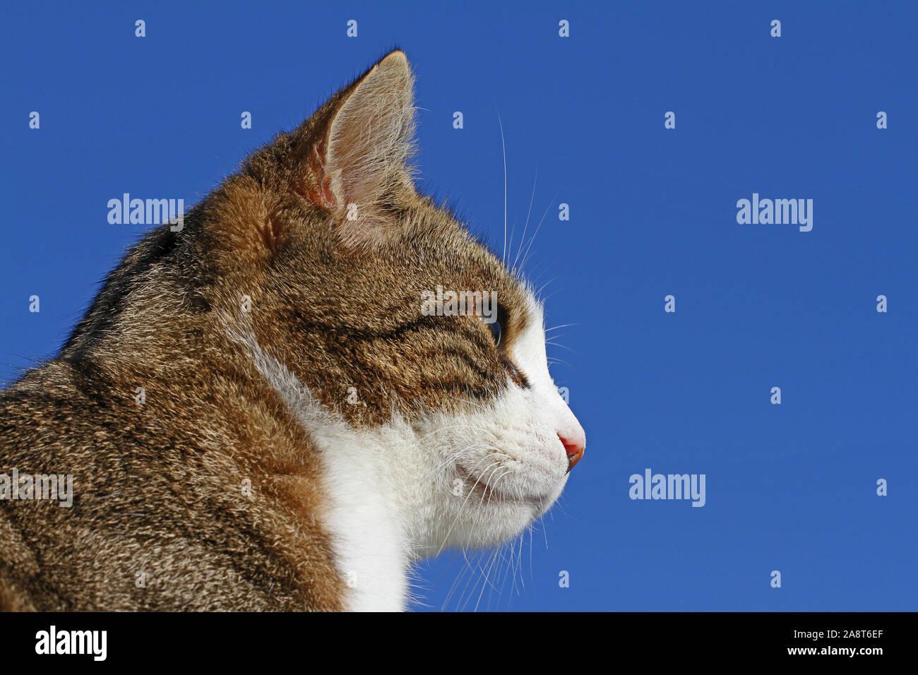 Gato atigrado símbolo estatal de Massachusetts y rescate símbolo pet de California, Colorado, Illinois, Tennessee. Abandonada en Colfiorito, Umbría. Foto de stock