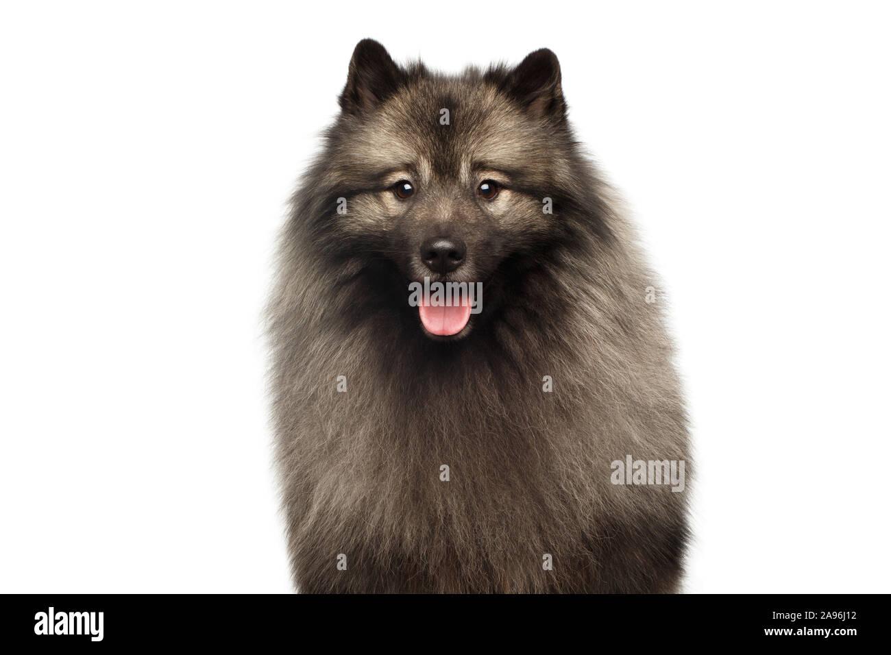 Retrato de Keeshond peludo perro mirando en cámara aislada sobre fondo blanco. Foto de stock
