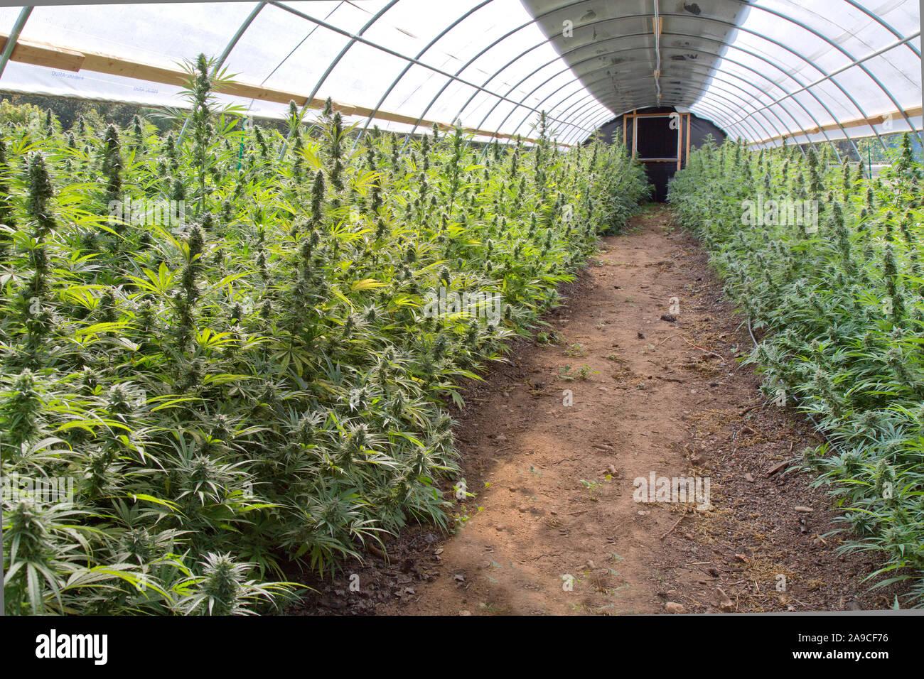 Maduración de cáñamo orgánico en invernadero. Lado izquierdo 'Lifter', 'Suver cepa derecha Haze'. Cannabis sativa. Foto de stock