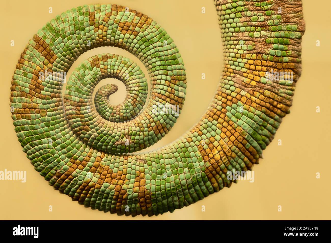 Primer plano de una cola de camaleón verde y naranja (Chamaeleo calyptratus) acurrucada y aislada Foto de stock