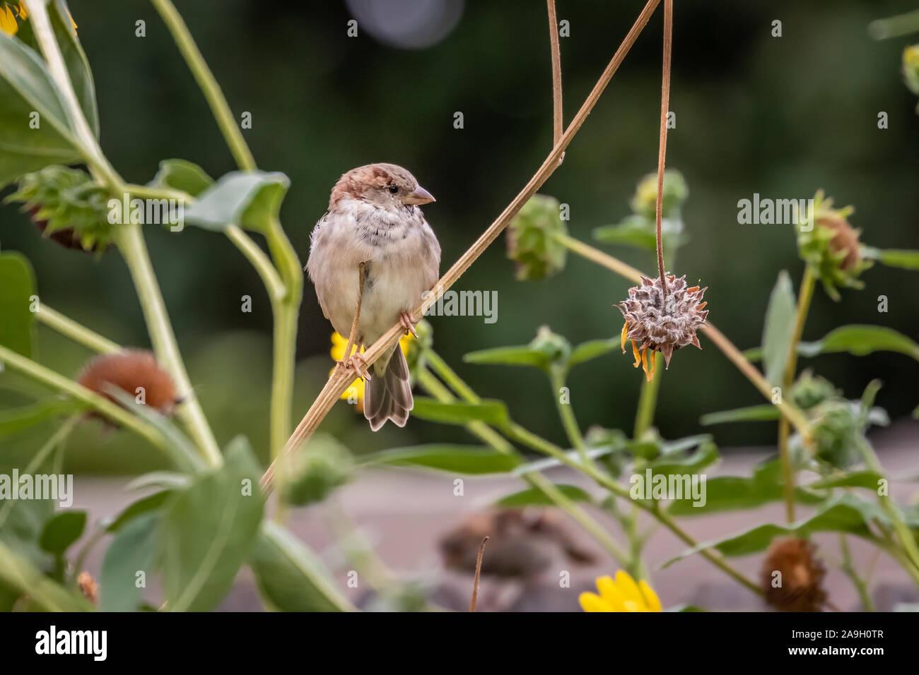 Gorrión (Passer domesticus) encaramado en un jardín trasero Foto de stock