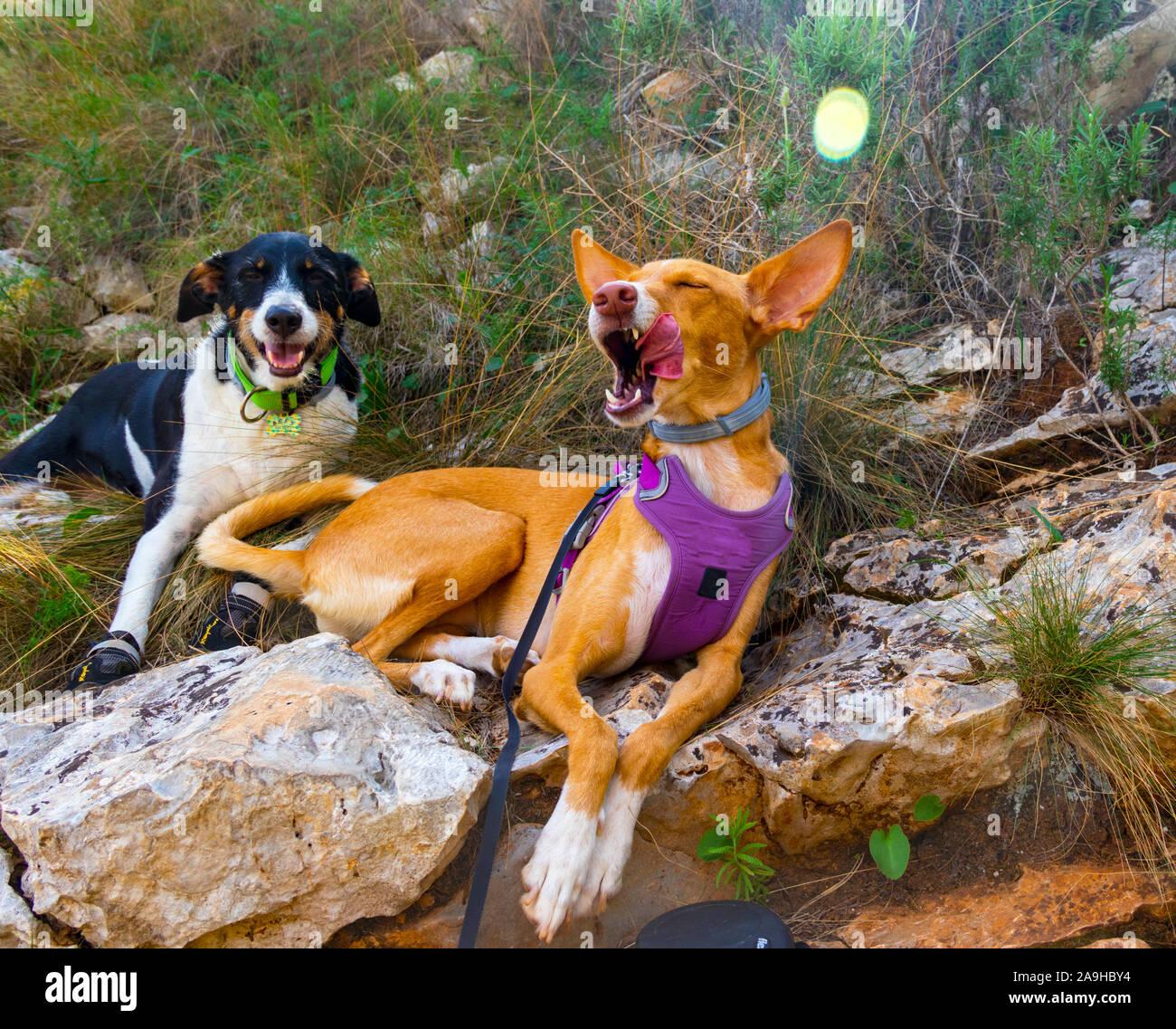 Cutie perros posando para la cámara con la celebración hermoso paisaje Foto de stock