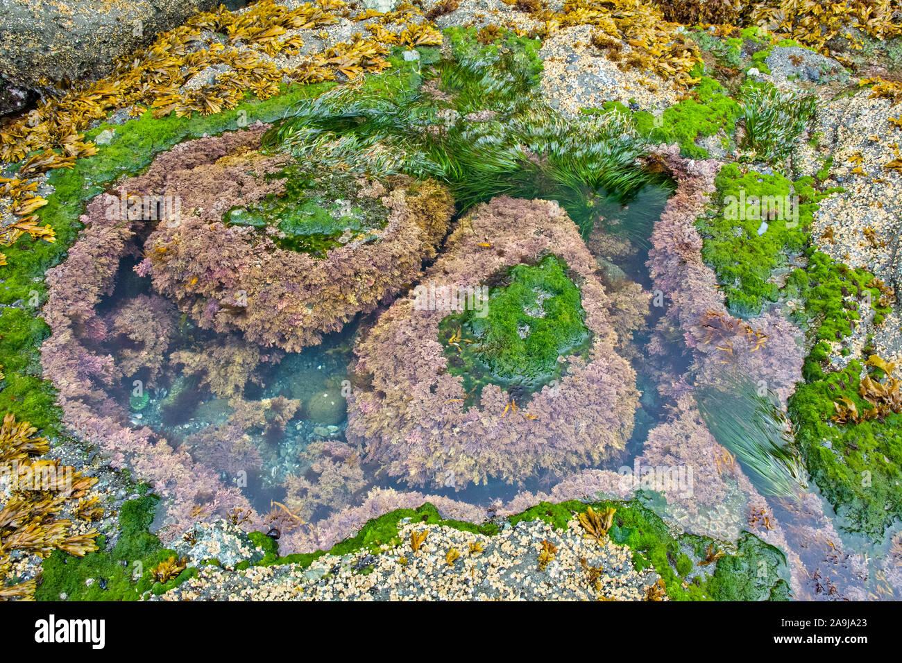 Piscina de marea wih algas coralinas, especies Corallina, vejiga asolando, el fucus vesiculosus, percebes, Balanus glandula de bellota, y del Scouler surfgrass, Phyllo Foto de stock