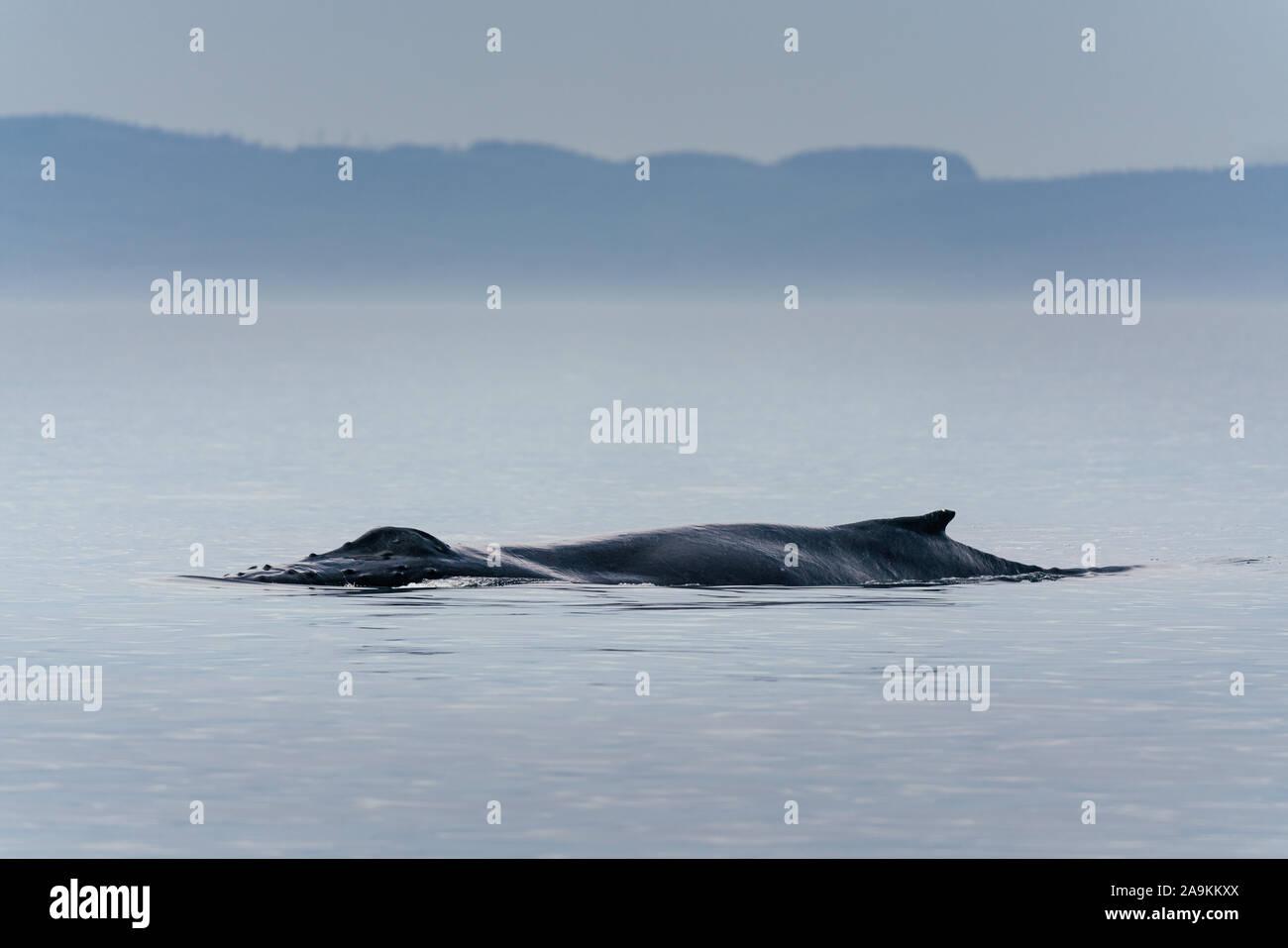 Canadá, British Columbia. Cola de ballena jorobada en Victoria Foto de stock