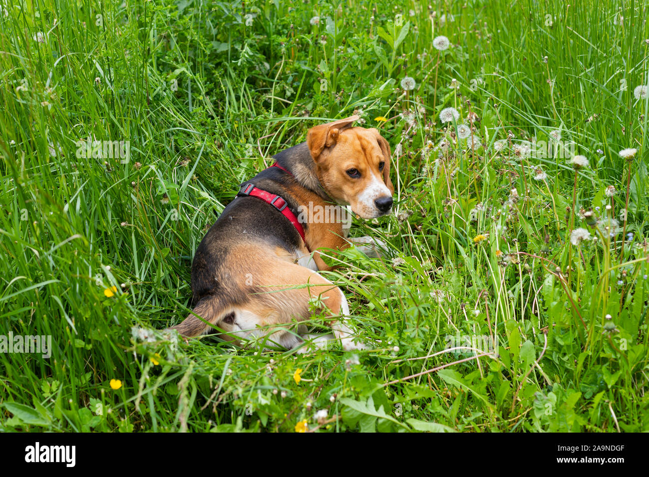 Cachorro beagle tricolor jugando al aire libre en el jardín Foto de stock