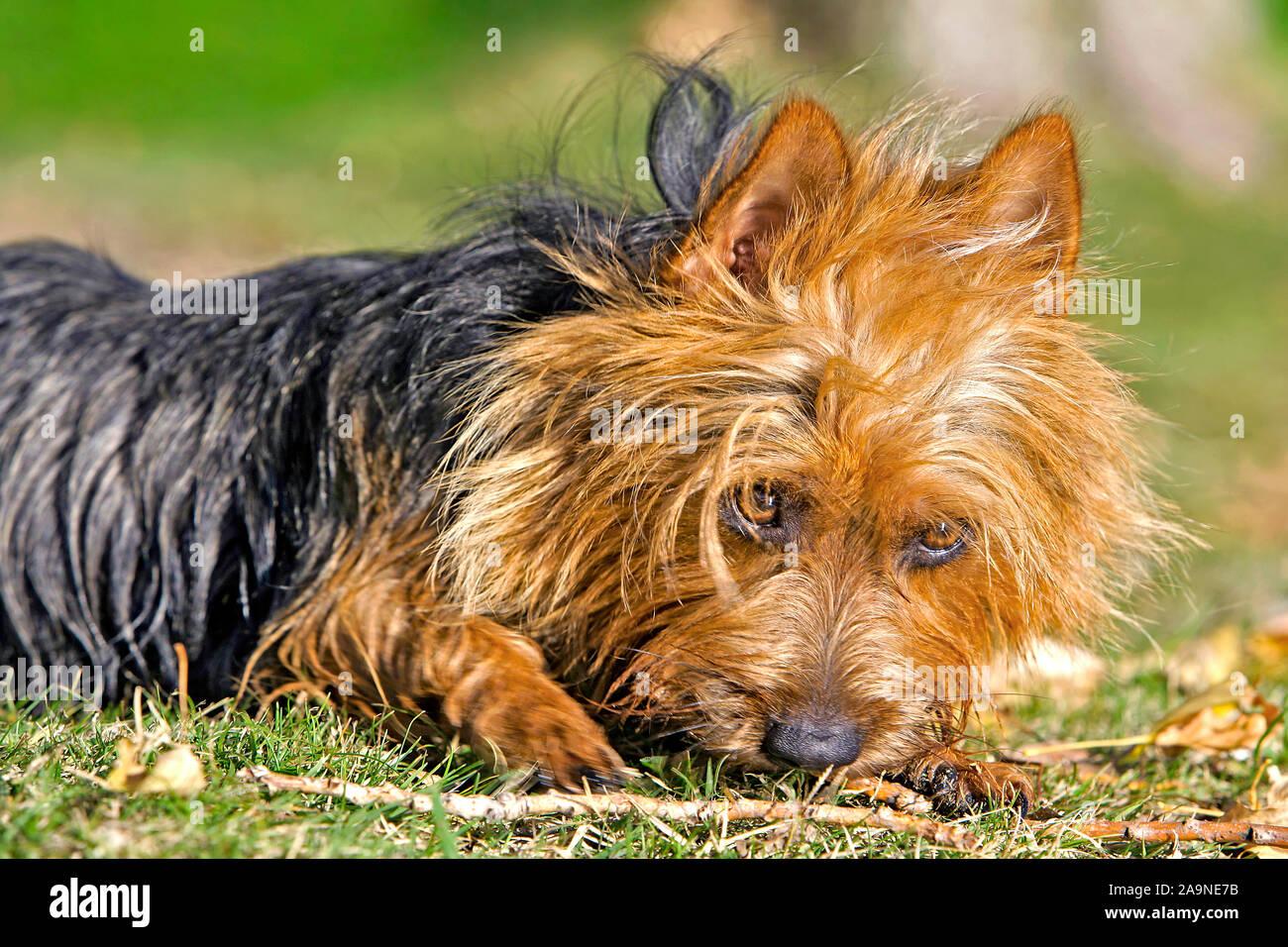 Cerca del Terrier australiano sobre el césped jugando con bastón Foto de stock