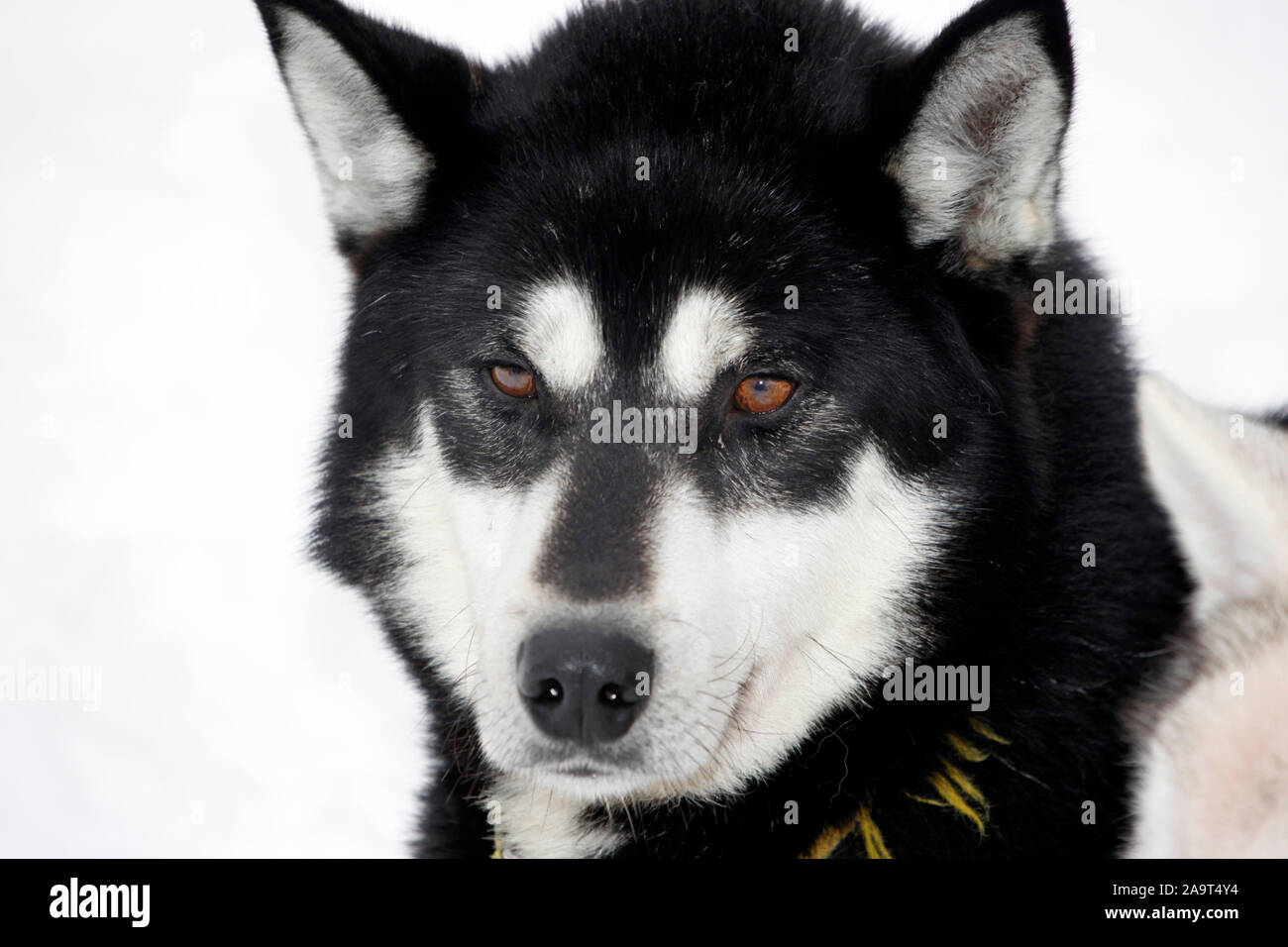 Portrait eines schwarzen Huskys mit braunen Augen, Schlittenhund während der Ruhepause, Laponia, Finnland Foto de stock